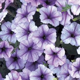 ペチュニア 種 【 フラー ブルーべイン 】 小袋 ( ペチュニアの種 花の種 )