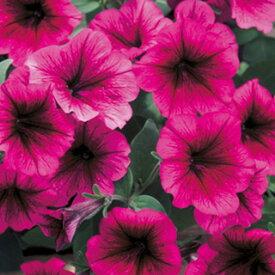 ペチュニア 種 【 フラー プラム 】 小袋 ( ペチュニアの種 花の種 )