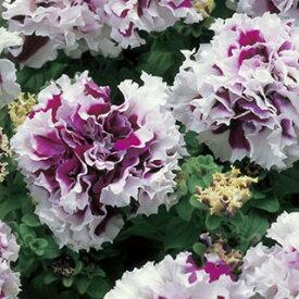 ペチュニア 種 【 パープル ピルエット 】 小袋 ( ペチュニアの種 花の種 )
