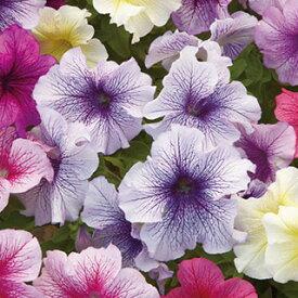 ペチュニア 種 【 F1プリズム サンデーミックス 】 小袋 ( ペチュニアの種 花の種 )
