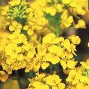 菜の花(はなな) 種 【 寒咲系 混合 】 実咲小袋 ( 菜の花(はなな)の種 花の種 )