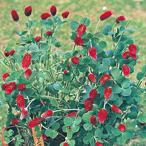 クリムゾンクローバー 種 【 ストロベリートーチ 】 実咲小袋 ( クリムゾンクローバーの種 花の種 )