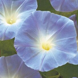 朝顔 種 【 ヘブンリーブルー 】 小袋(約1.5ml) (朝顔の種 花の種 )