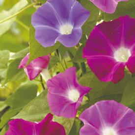 朝顔 種 【 垣根用混合 】 1.5ml (朝顔の種 花の種 )