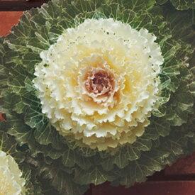 葉牡丹 種 【 F1 白はと 】 小袋 ( 葉牡丹の種 花の種 )