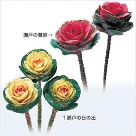 葉牡丹 種 【 瀬戸混合 】 小袋 ( 葉牡丹の種 花の種 )