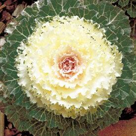 葉牡丹 種 【 F1 丸葉系フレッシュホワイト 】 小袋 ( 葉牡丹の種 花の種 )