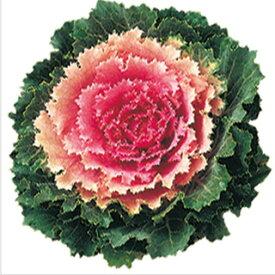 葉牡丹 種 【 F1 桃つぐみ 】 小袋 ( 葉牡丹の種 花の種 )