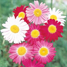 赤花除虫菊 種 【 ロビンソンミックス 】 実咲小袋 ( 赤花除虫菊の種 花の種 )