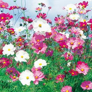 コスモス(秋桜) 種 【 センセーション混合 】 小袋(20ml) ( コスモス(秋桜)の種 花の種 )