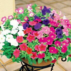 ペチュニア 種 【 バカラ 特選混合 】 0.5ml ( ペチュニアの種 花の種 )