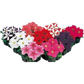 ペチュニア 種 【 イーグル ミックス 】 ペレット1000粒 ( ペチュニアの種 花の種 )