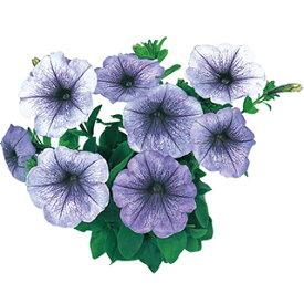 ペチュニア 種 【 セレブリティー ブルーアイス 】 1000粒 ( ペチュニアの種 花の種 )