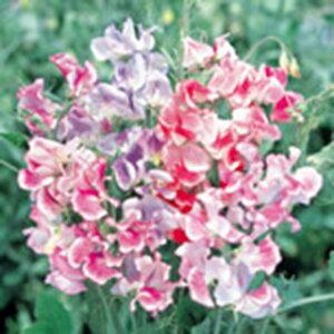 スイートピー 種 【 リップル ミックス 】 実咲小袋 ( スイートピーの種 花の種 )