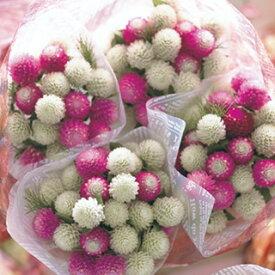 千日紅 種 【 フェアリーミックス 】 小袋 ( 千日紅の種 花の種 )