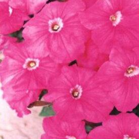 ペチュニア 種 【 バカラ ピンク 】 ペレット1000粒 ( ペチュニアの種 花の種 )