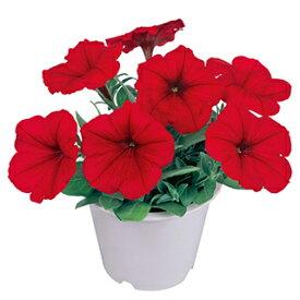 ペチュニア 種 【 バカラ レッド 】 ペレット1000粒 ( ペチュニアの種 花の種 )