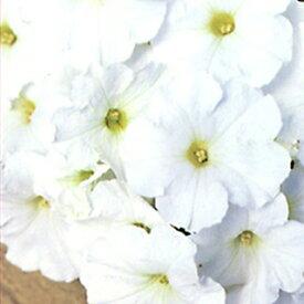 ペチュニア 種 【 バカラ ホワイト ペレット 】 ペレット1000粒 ( ペチュニアの種 花の種 )