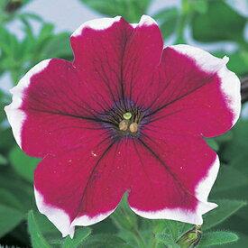 ペチュニア 種 【 バカラ バーガンディーピコティー 】 ペレット1000粒 ( ペチュニアの種 花の種 )