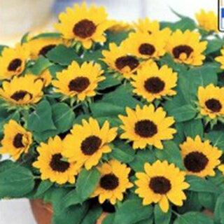 ひまわり 種 【 ミニひまわり 小夏 】 フィルムコート1000粒 ( ひまわりの種 花の種 )