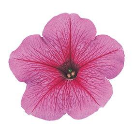 ペチュニア 種 【 バカラ ピンクべイン 】 ペレット1000粒 ( ペチュニアの種 花の種 )