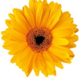 ガーベラ 種 【 フェスティバル イエローアイ 】 100粒 ( ガーベラの種 花の種 )