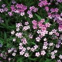 宿根かすみ草 種 【 ピレネー ピンク 】 実咲小袋 ( 宿根かすみ草の種 花の種 )