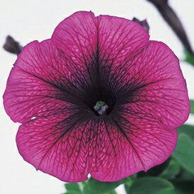 ペチュニア 種 【 バカラ プラム 】 ペレット1000粒 ( ペチュニアの種 花の種 )