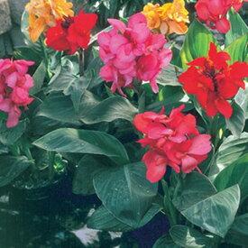 カンナ 種 【 トロピカル サマーミックス 】 小袋 ( カンナの種 花の種 )