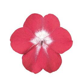 インパチェンス 種 【 スーパーエルフィンXP レッドスターB 】 500粒 ( インパチェンスの種 花の種 )