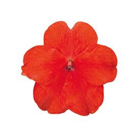 インパチェンス 種 【 スーパーエルフィンXP スカーレット 】 500粒 ( インパチェンスの種 花の種 )