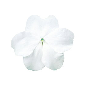 インパチェンス 種 【 スーパーエルフィンXP ホワイト 】 500粒 ( インパチェンスの種 花の種 )