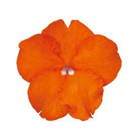 インパチェンス 種 【 スーパーエルフィンXP オレンジブライト 】 500粒 ( インパチェンスの種 花の種 )