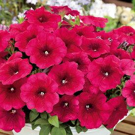 ペチュニア 種 【 エコチュニア チェリーローズ 】 ペレット1000粒 ( ペチュニアの種 花の種 )