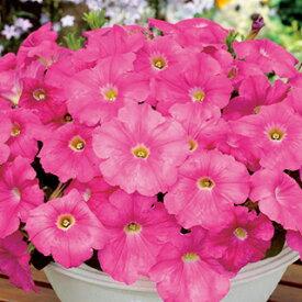 ペチュニア 種 【 エコチュニア ローズピンク 】 ペレット1000粒 ( ペチュニアの種 花の種 )