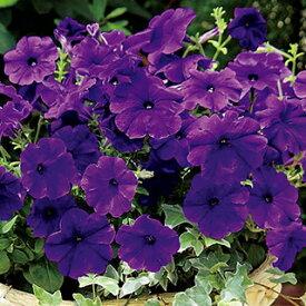 ペチュニア 種 【 エコチュニア ブルー 】 ペレット1000粒 ( ペチュニアの種 花の種 )