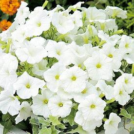 ペチュニア 種 【 エコチュニア ホワイト 】 ペレット1000粒 ( ペチュニアの種 花の種 )