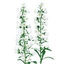 カンパニュラ 種 【 チャンピオン ホワイトver.2 】 ペレット1000粒 ( カンパニュラの種 花の種 )
