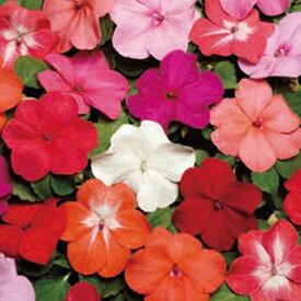 インパチェンス 種 【 スーパーエルフィンXP ミックス 】 500粒 ( インパチェンスの種 花の種 )
