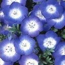 ネモフィラ 種 【 インシグニスブルー 】 10ml ( ネモフィラの種 花の種 )