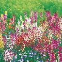 リナリア 種 【 高性混合 】 実咲小袋 ( リナリアの種 花の種 )