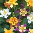 西洋オダマキ 種 【 マッカナジャイアント 】 実咲小袋 ( 西洋オダマキの種 花の種 )