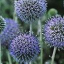 ルリタマアザミ 種 【 ルリタマアザミ 】 実咲小袋 ( ルリタマアザミの種 花の種 )