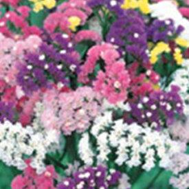 スターチス 種 【 切り花用 美色混合 】 実咲小袋 ( スターチスの種 )