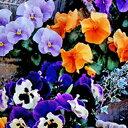 パンジー 種 【 F1 ピカソ ミックス 】 小袋 ( パンジーの種 花の種 )