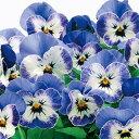 ビオラ 種 【 F1 ソルベ デルフトブルーXP 】 小袋 ( ビオラの種 花の種 )