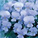 ビオラ 種 【 F1 ビビ ヘブンリーブルー 】 小袋 ( ビオラの種 花の種 )