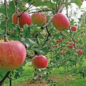 りんご 贈答用 つがる 3kg箱