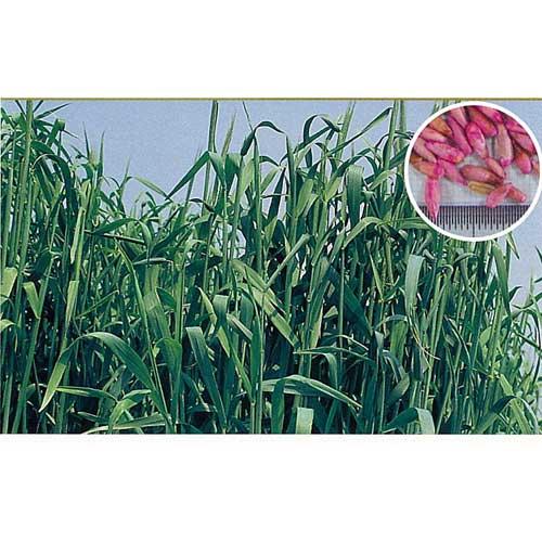 緑肥・牧草 種 【 ライ麦 緑春 】 種子 1kg ( 種 野菜 野菜種子 野菜種 )