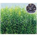 緑肥・牧草 種 【 クロタラリア ネマコロリ  】 種子 1kg ( 種 ...
